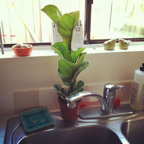 I bought a baby fiddle leaf fig.  I hope it grows 10 feet tall!