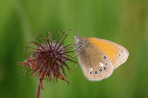 nature butterfly estonia pentax eesti loodus k7 soomaa liblikas coenonymphaglycerion chestnutheath pentaxk7 tipuküla helmikaaasasilmik