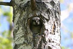 Northern Hawk Owl chick Nr Edmonton Alberta