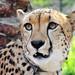 Small photo of Shiley the Cheetah (Acinonyx jubatus)