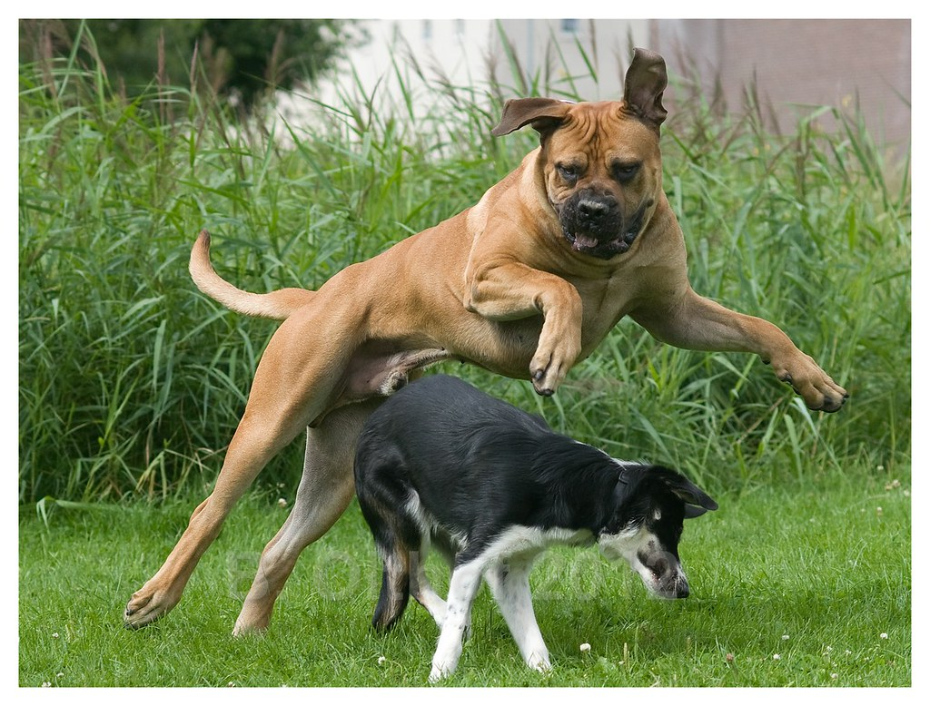 Boerboel dogs & collie