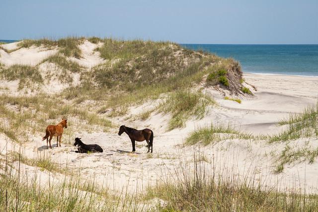 Wild Horses Outer Banks North Carolina Flickr Photo