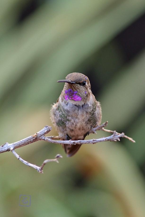 immature male Costa's X Anna's Hummingbird 082612-2