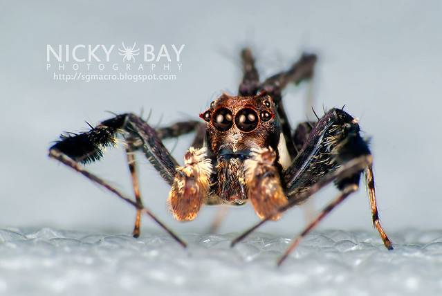 Jumping Spider (Portia sp.) - DSC_5824