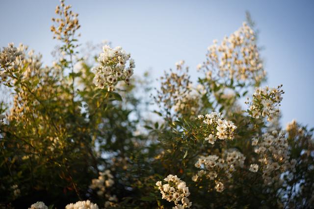 植物園-油桐花