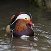 Male mandarin_.jpg by Neil Brimacombe
