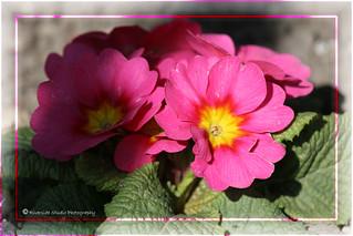 Bright Pink Primula
