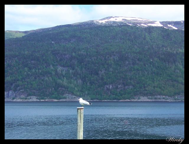Fiordos noruegos Trondheim Vinjef Valsoy Halsa Molde Alesund - Gaviota en fiordo Vinjef