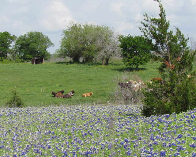bluebonnets mar2012 1