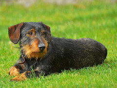 airedale terrier(0.0), dog breed(1.0), animal(1.0), puppy(1.0), dog(1.0), pet(1.0), jagdterrier(1.0), vulnerable native breeds(1.0), welsh terrier(1.0), australian terrier(1.0), carnivoran(1.0), terrier(1.0),