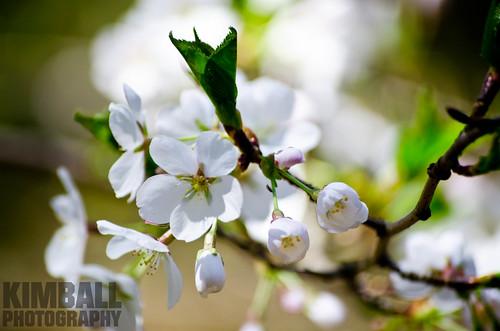 Pear Flower 1