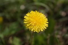 Yellow Giant Dandelion