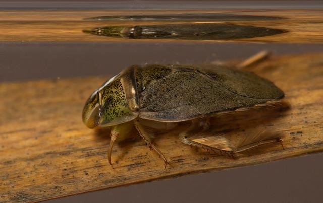 saucer bug 6 edited
