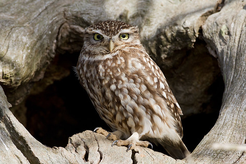 IMG_5039 Little Owl