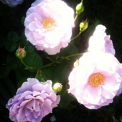 Violetta's Dead Baby Girl roses