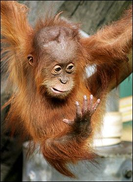 baby_orangutan_sees_hand
