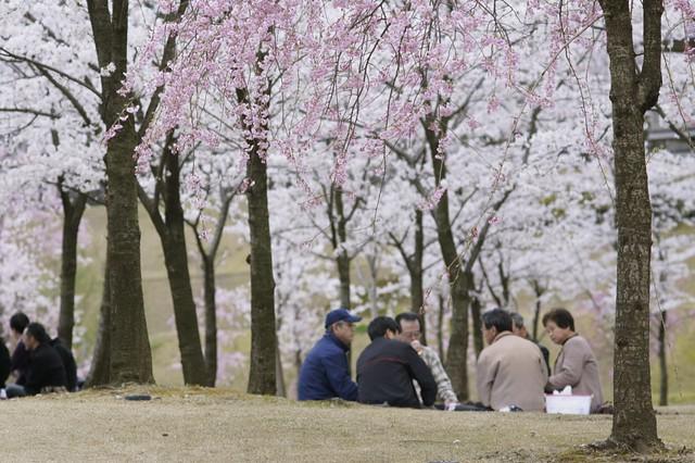 兼六園の桜満開! その3