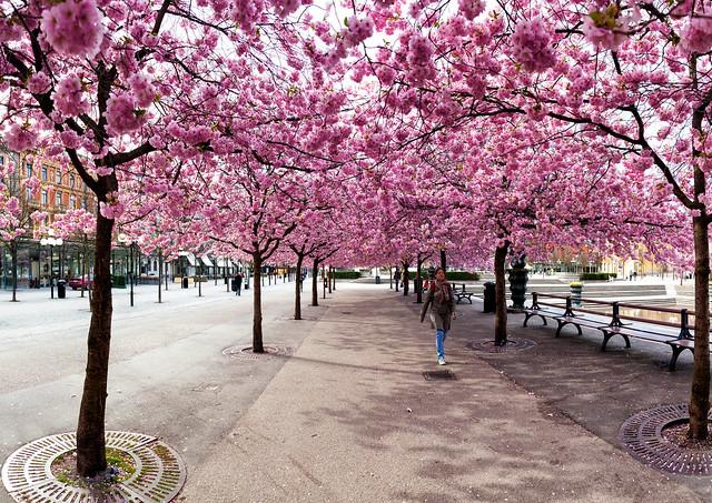 Sakura, Kungträdgården, April 30 2012