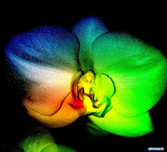 ORCHID - Orchidee -  Phalaenopsis