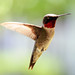 Small photo of Ruby Throated Hummingbird
