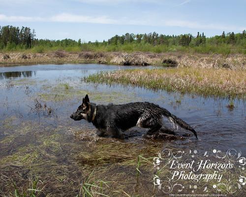 Swamp Shepherd