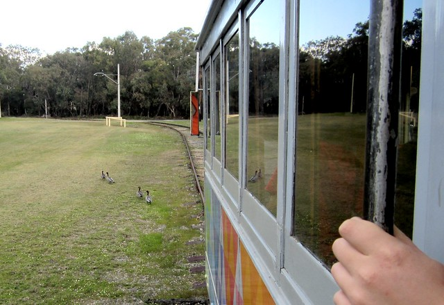 Ducks crossing in front of the tram, Whiteman Park, Perth