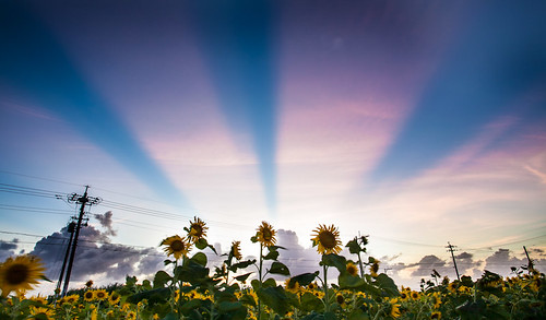 Sunflowers and beams by Shenanigans in Japan