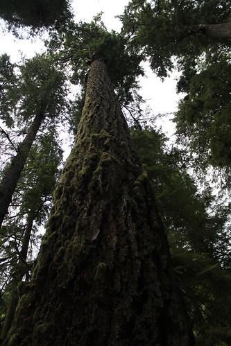 Taaaaaaall Tree