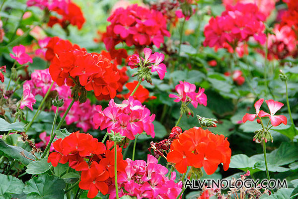 Sea of red flowers