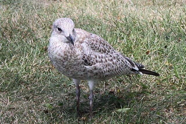 Female seagull - photo#3
