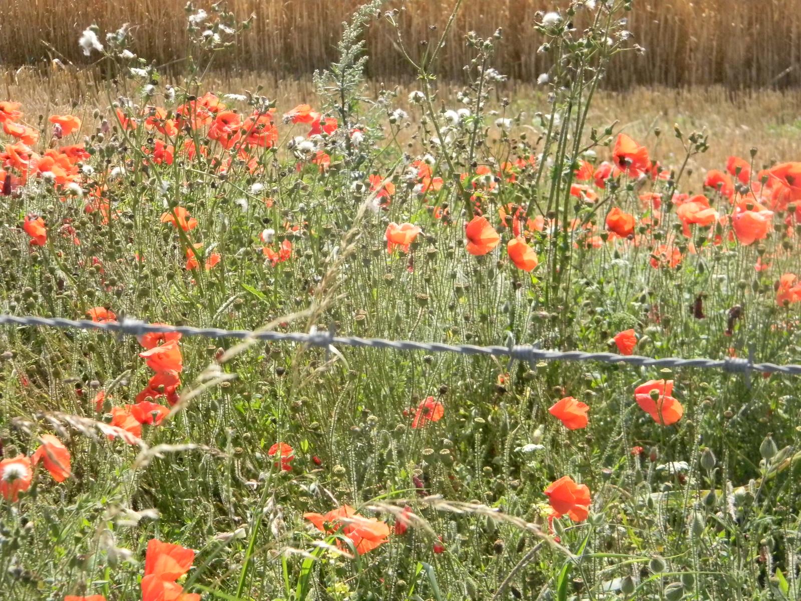 Poppies Amberley to Shoreham