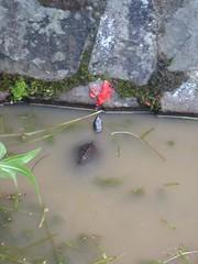 柴棺龜食福壽螺卵。林子晴