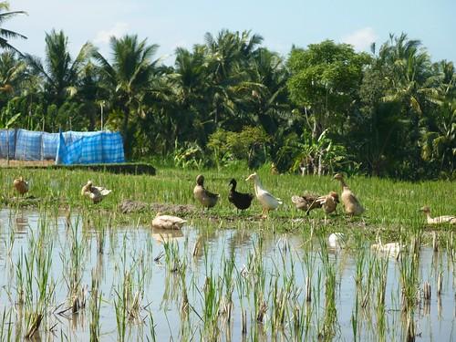 Bali- Ubud-Rizières (3)
