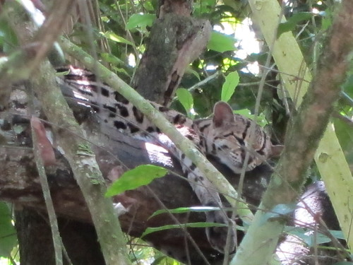 Margay lounging