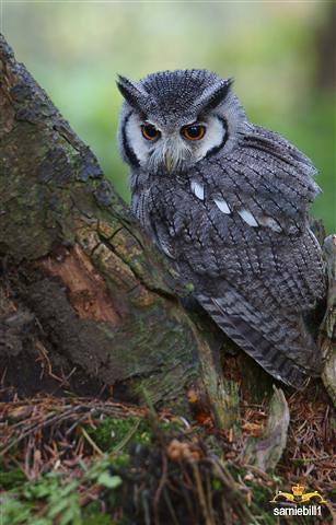 African Scops owl by sarniebill1