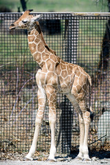 Baby Giraffe Profile
