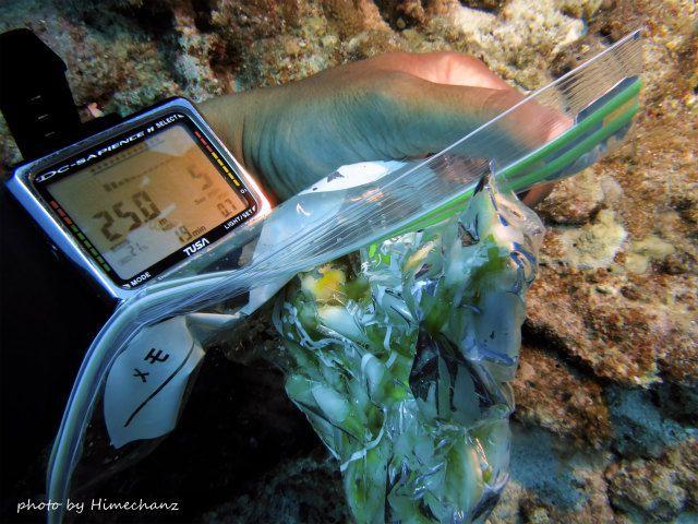 島らっきょを水深25mでモミモミよ~♪
