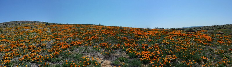 Panorama_Poppies