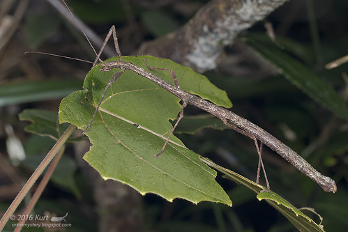 Stick Insect_MG_9130 copy