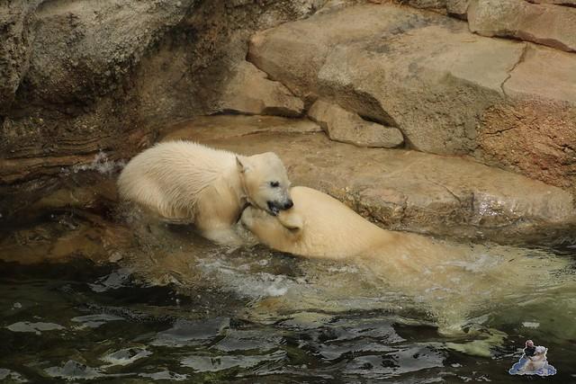 Eisbär Lili im Zoo Bremerhaven 30.04.2016 Tei 1  146