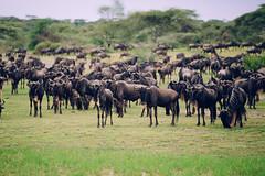 Ngorongoro, Tanzania - Wildebeest