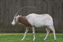 Oryx at Smithsonian's National Zoo