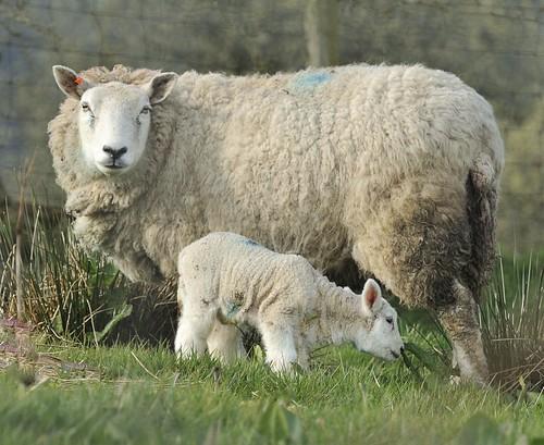 Mum and Lamb by Andy Pritchard - Barrowford