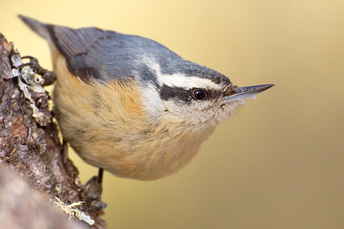 Red-breasted Nuthatch by Jeff Dyck