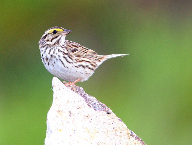 Savannah Sparrow 2-20120502