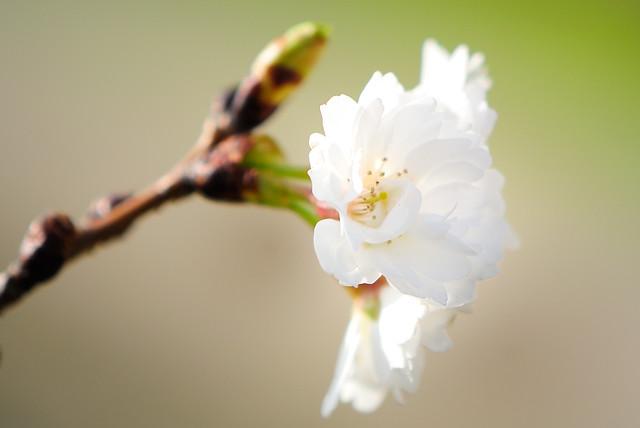 Cherry brossoms