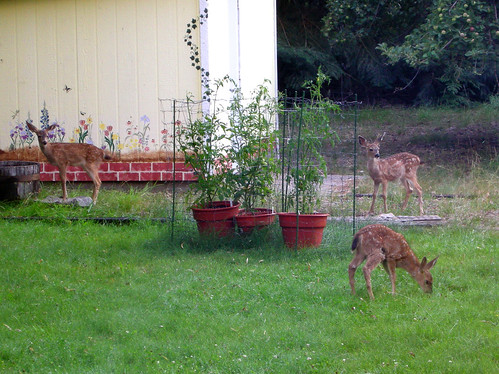 fawns and tomates on lawn