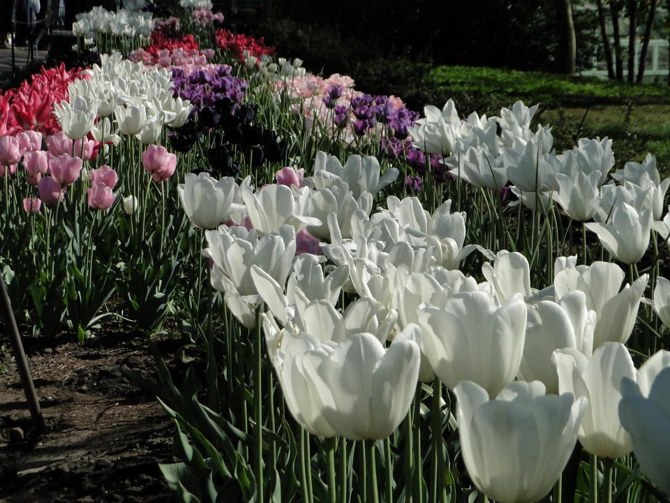 77-21apr12_3981_Botanical_garden_tulip