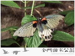 大鳳蝶雌蟲(無尾型).jpg