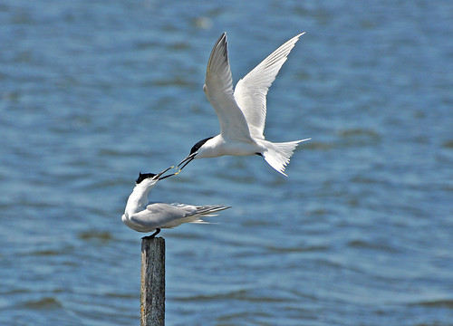 Fighting Sandwhich Terns